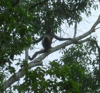 Spider monkey high up in the trees
