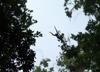 A spider monkey making a leap