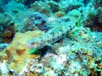 Lizardfish, well camouflaged on the rock