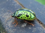 Brightly cloured beetle