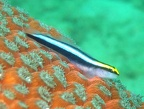 Sharknose Goby