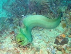 Green Moray who moved like a bullet!