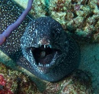 Spotted Moray Eel up close and personal