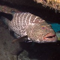 Tiger grouper (<i>Mycteroperca tigris</i>)