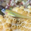 Peppermint goby (Coryphopterus lipernes)