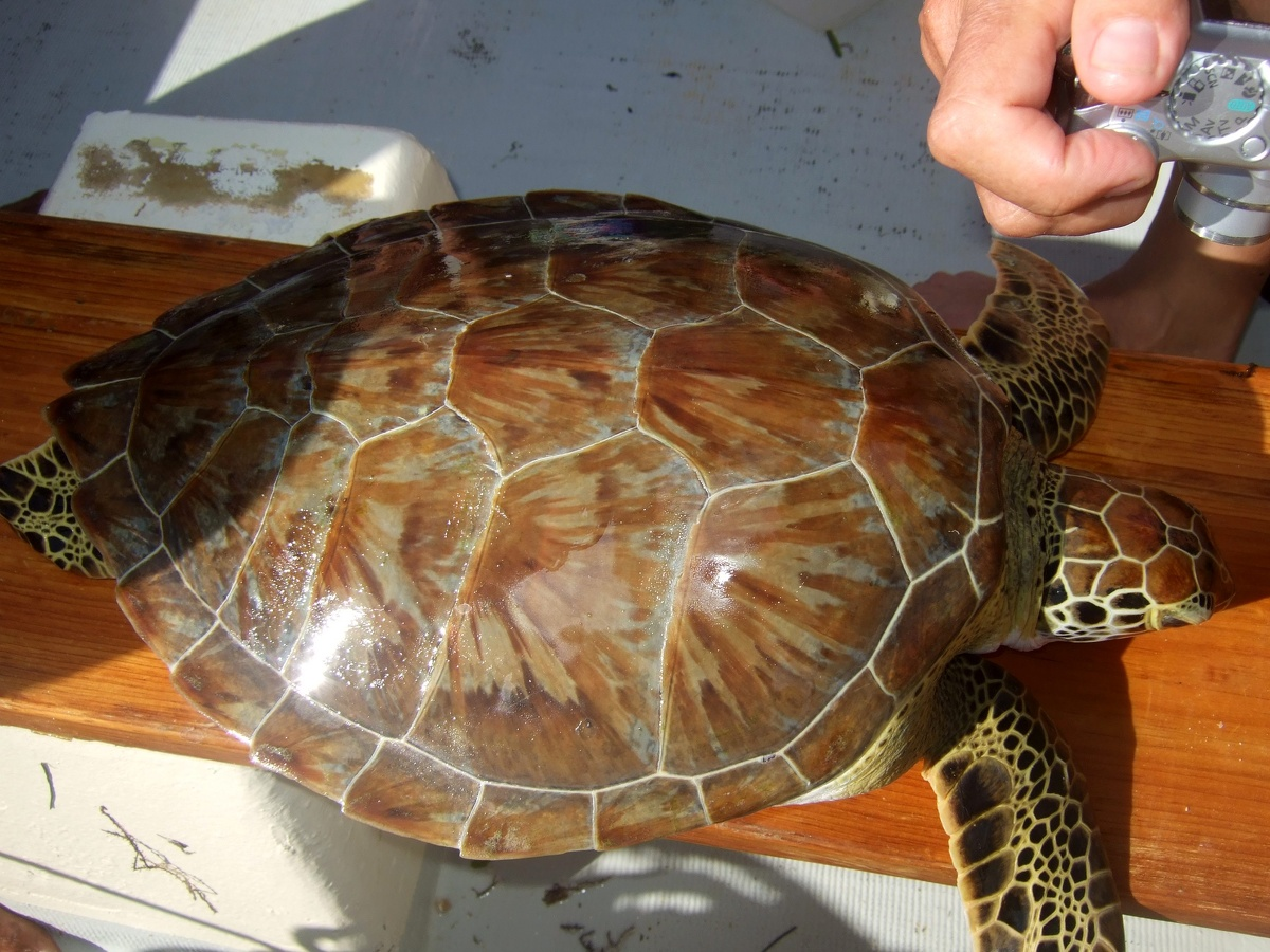 The clean shell of a Hawksbill turtle
