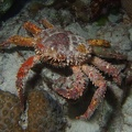 Channel clinging crab (<i>Mithrax spinosissimus</i>); Family: Spider Crabs - <i>Majidae</i>