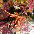 Red banded lobster (<i>Justitia longimanus</i>); Family: Spiny Lobsters - <i>Palinuridae</i>
