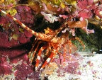 Red banded lobster (Justitia longimanus); Family: Spiny Lobsters - Palinuridae