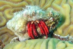 Red reef hermit (Paguristes cadenati); Family: Hermit Crabs - Diogenidae