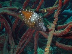 White spotted filefish munching on some rope sponge