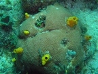 Variable boring sponge (Siphonodictyon coralliphagum)