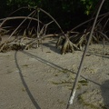 Roots of the red mangrove (<i>Rhizophora mangle</i>) at low tide