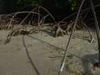 Roots of the red mangrove (Rhizophora mangle) at low tide
