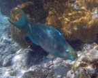 Queen parrotfish (Scarus vetula), terminal phase