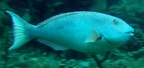Redtail parrotfish (Sparisoma chrysopterum), terminal phase