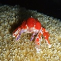 Cryptic teardrop crab (<i>Pelia mutica</i>)