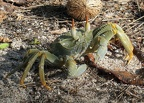 Ghost crab in the mangroves