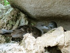 Wedge-tailed shearwaters (Puffinus pacificus) nest in the rocks as well as making underground burrows.