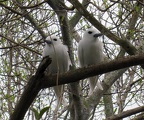 Pair of White or Fairy terns (Gygis alba)