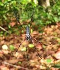 Palm spider (Nephila inaurita), fearsome looking, though not dangerous!