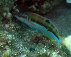 Ornate wrasse (Thalassoma pavo), female