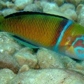 Ornate wrasse (<i>Thalassoma pavo</i>), male