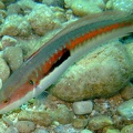 Rainbow wrasse (<i>Coris julis</i>)