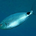 Saddled seabream (<i>Oblada melanura</i>)