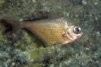 Dusky sweeper (Pempheris rhomboidea)