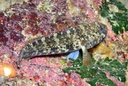 Black goby (Gobius niger) or possibly Red-mouthed goby (Gobius cruentatus)