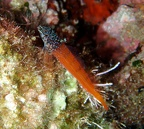 Small triplefin (Tripterygion melanurum)
