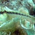 Striped blenny (<i>Parablennius rouxi</i>)