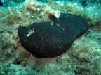 Black sponge (Ircinia spinosa)