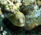 Goldentail moray (Gymnothorax miliaris)