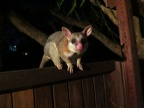 Inquisitive possum on the balcony