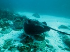 Black stingray (Daysatis thetidis)