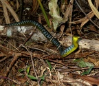 Common tree snake (Dendrelaphis punctulata)