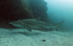Grey nurse shark (Carcharias taurus)