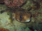 Happy looking porcupinefish (Diodon hystrix)