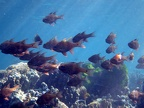 School of narrowlined cardinalfish (Archamia fucata)
