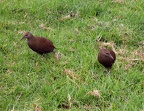 Lord Howe Woodhens (Gallirallus sylvestris) pecking around