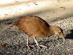 Claire's great photo of a Lord Howe Woodhen (Gallirallus sylvestris)