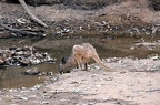 A kangaroo, probably a Euro (Macropus robustus) takes a drink at Bladensberg National Park