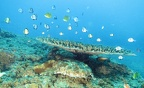 Wobbegong under a tabular coral
