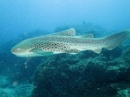 Leopard shark, one of many