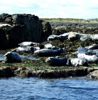 Just one small part of the grey seal (Halichoerus grypus) colony