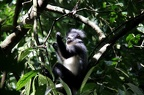 Thomas leaf monkey (Presbytis thomasi)