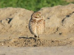 Burrowing owl!
