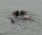 Otters feeding